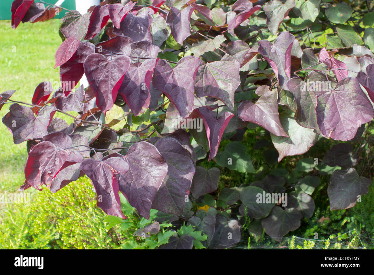 Purple tinged young foliage of the Eastern redbud variety, Cercis canadensis 'Forest Pansy' - Stock Image