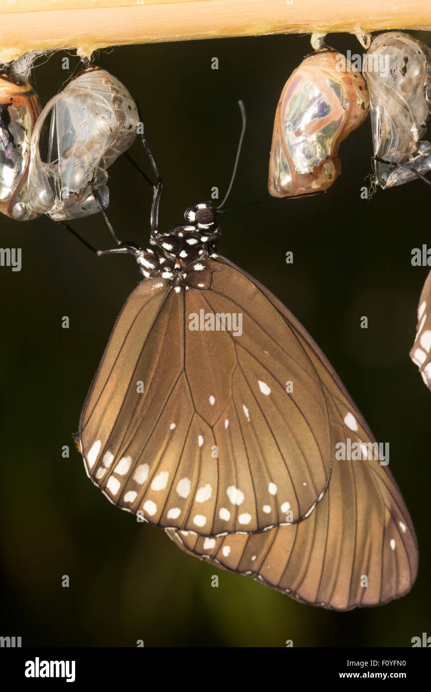 Newly emerged from the chrysalis, a Common Indian Crow Butterfly, Euploea core, hangs while the wings dry. - Stock Image