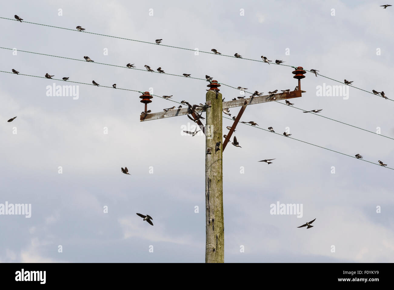 House martins gathering on electricity poles, in preparation for migration. Stock Photo