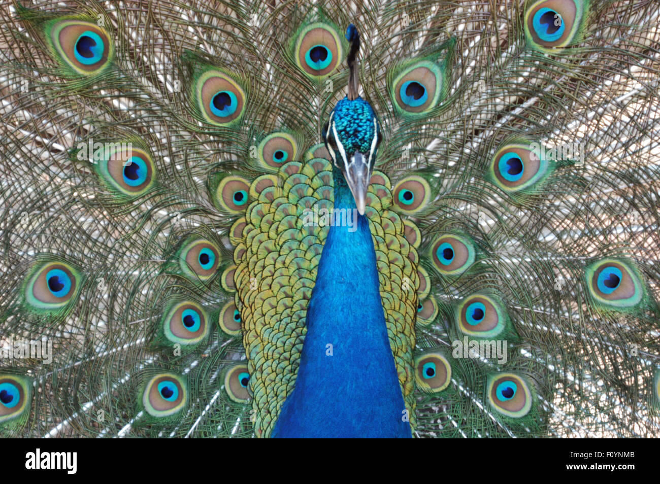 Head and feathers of a Peacock (Indian Peafowl) Pavo cristatus - Stock Image
