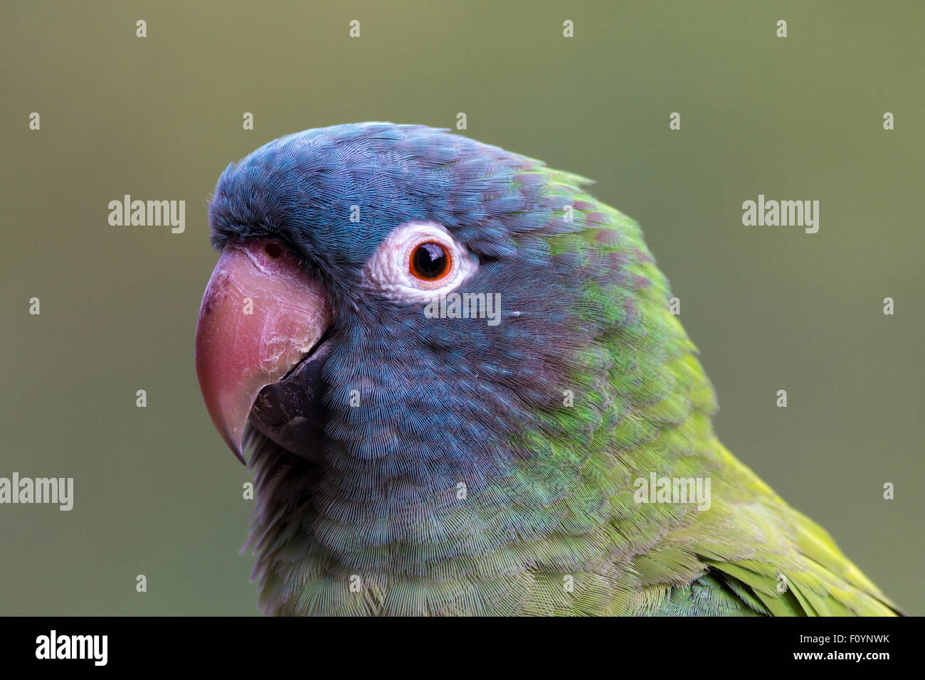 Blue crowned conure - Stock Image