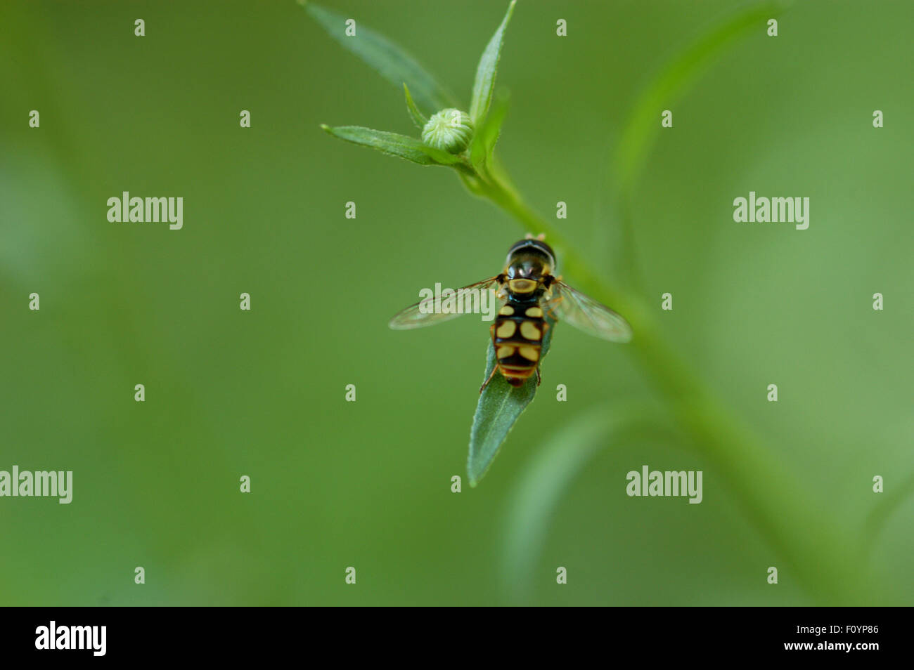 Hoverfly, sometimes called flower flies, sweat bees or syrphid flies, make up the insect family Syrphidae. - Stock Image