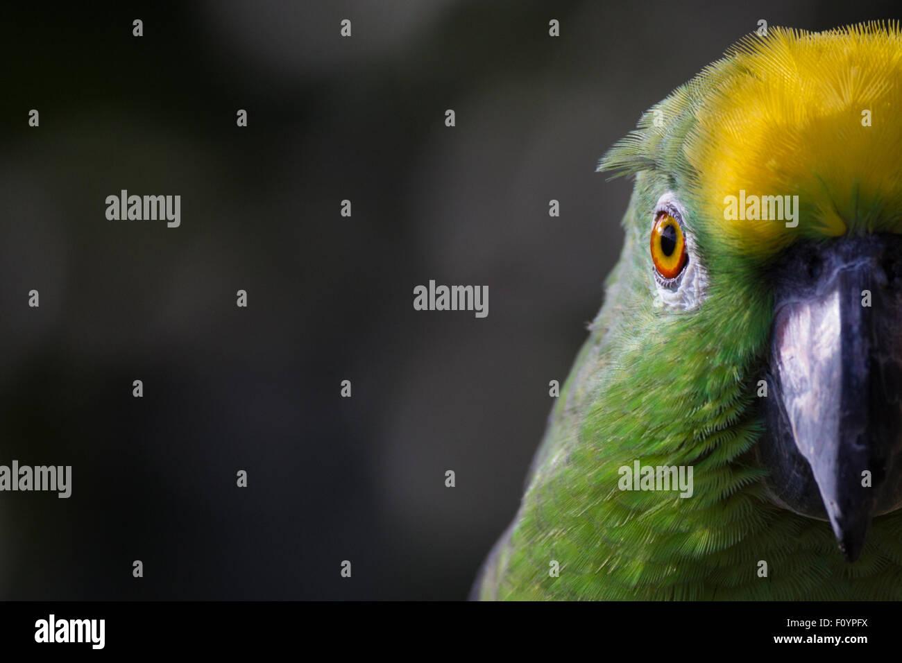 Yellow-crowned amazon - Stock Image