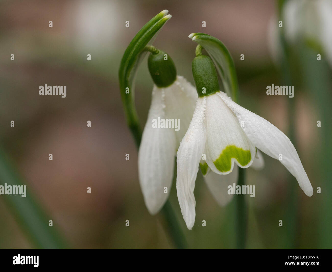 Spring snowdrop  (Galanthus nivalis) with dew. - Stock Image