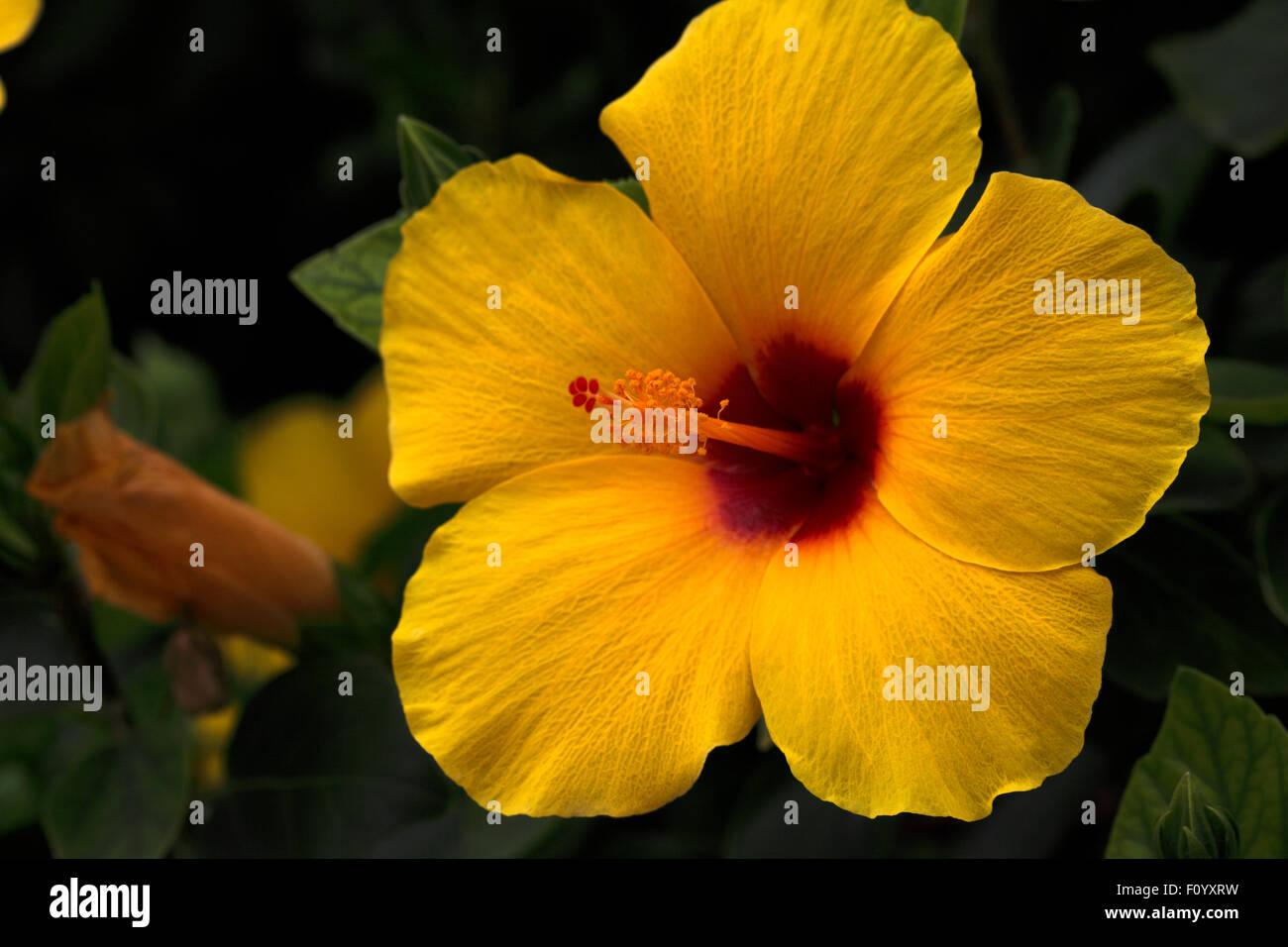 Yellow hibiscus state flower of hawaii stock photo 86665597 alamy yellow hibiscus state flower of hawaii izmirmasajfo