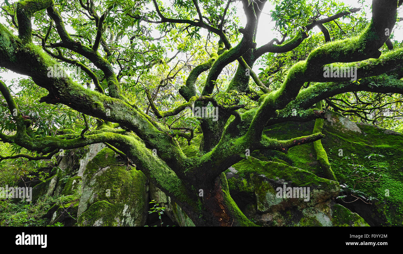 A whole green tree in rain forest and humid mountains - Stock Image