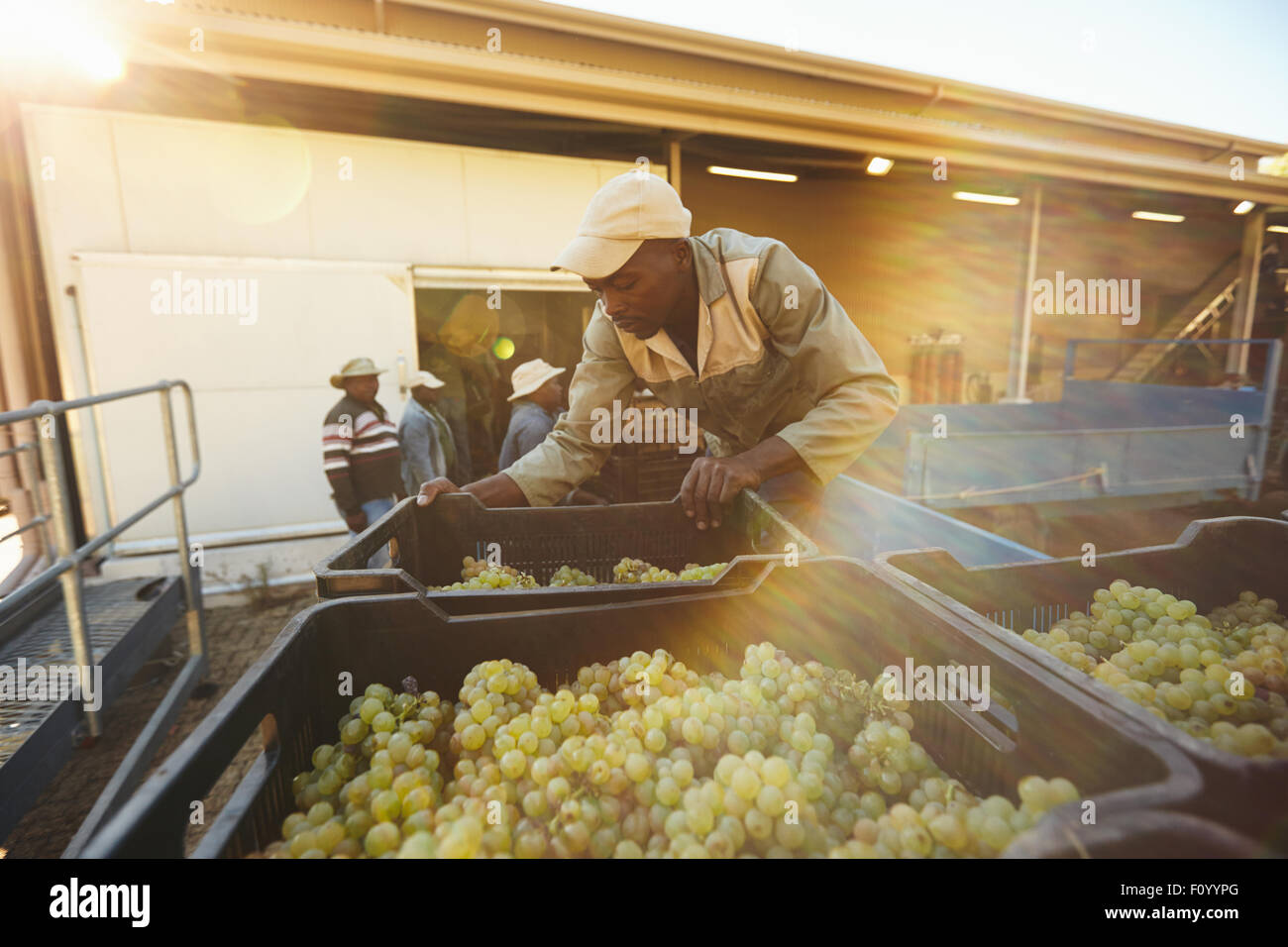 Vineyard worker unloading grape boxes from truck in wine factory. African man unloading crate full of grapes in - Stock Image