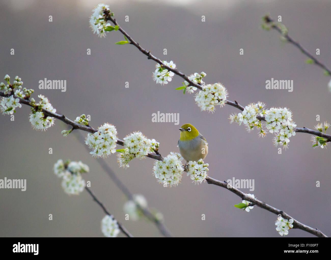 Silvereye Zosterops lateralis plum tree - Stock Image