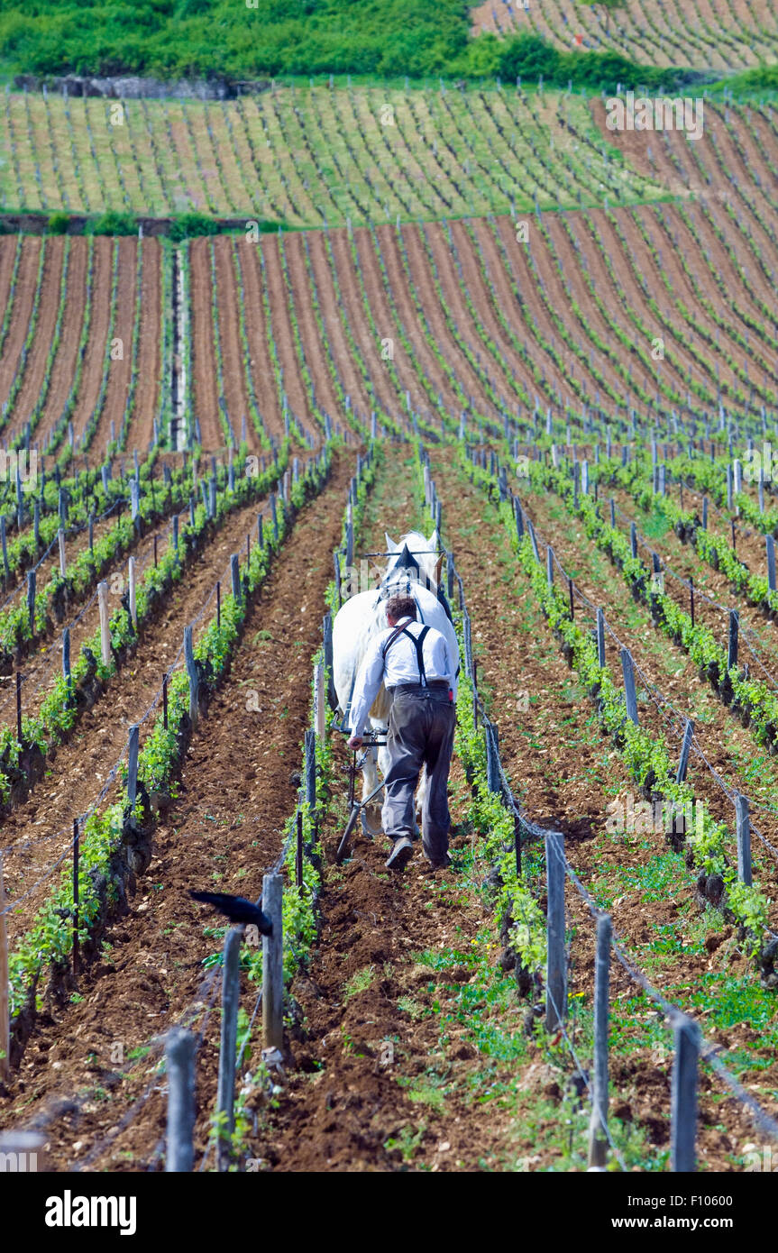 Draft horse and man tilling soil in the La Tache vineyard in Burgundy - Stock Image