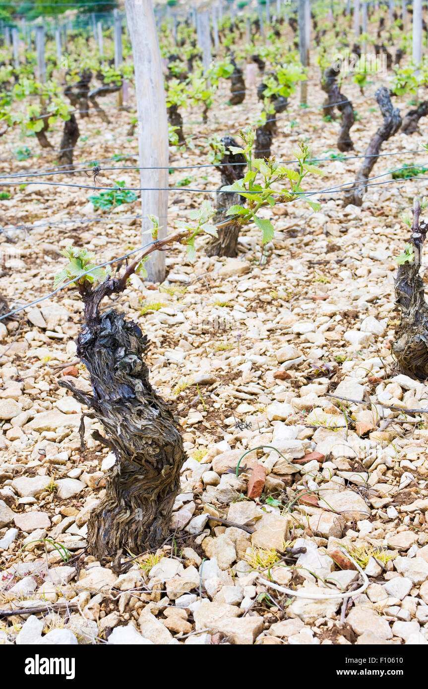 Detail of the vines and terroir of the Les Cazetiers vineyards in Gevrey-Chambertin in Burgundy France - Stock Image