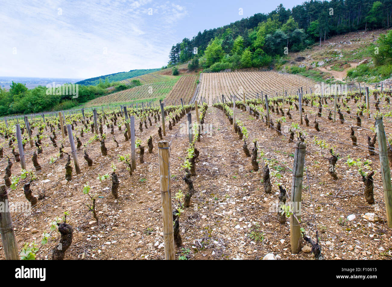 The upper slopes of the Les Cazetiers vineyards in Gevrey-Chambertin in Burgundy France - Stock Image