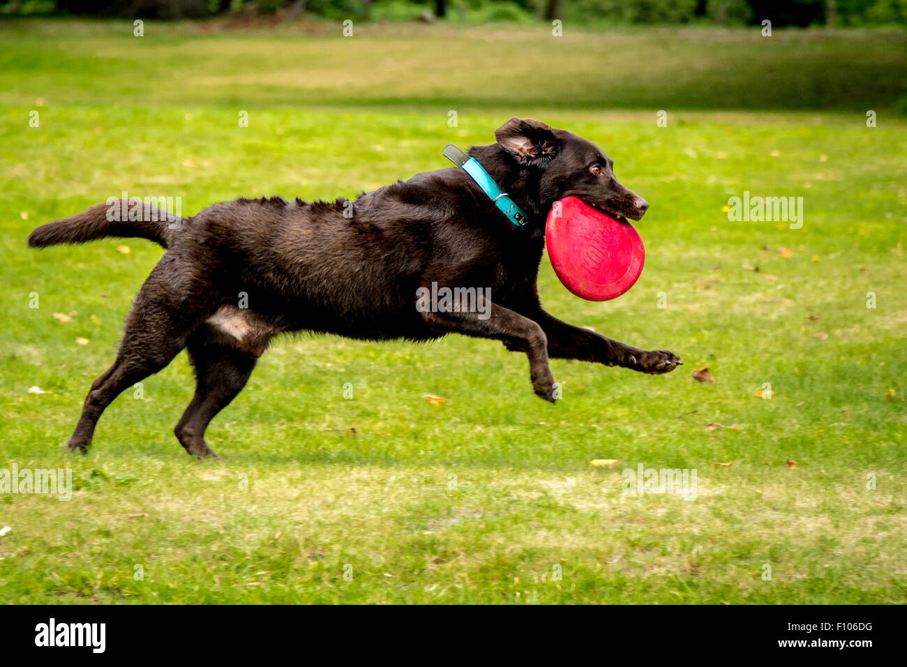 Chocolate Labrador Running in a Park with a toy - Stock Image