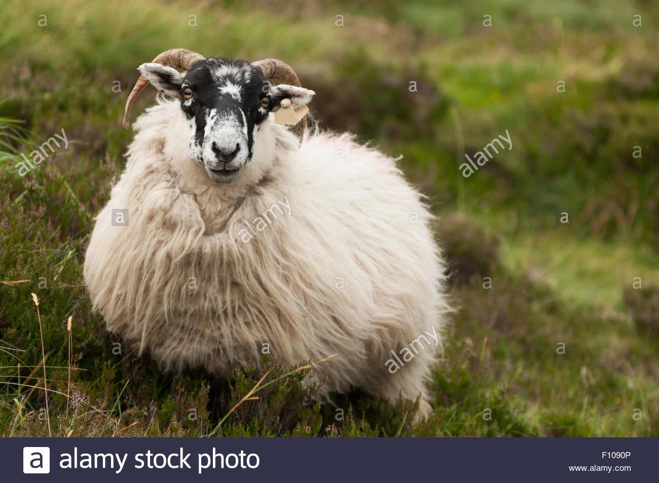 Irish sheep - Stock Image
