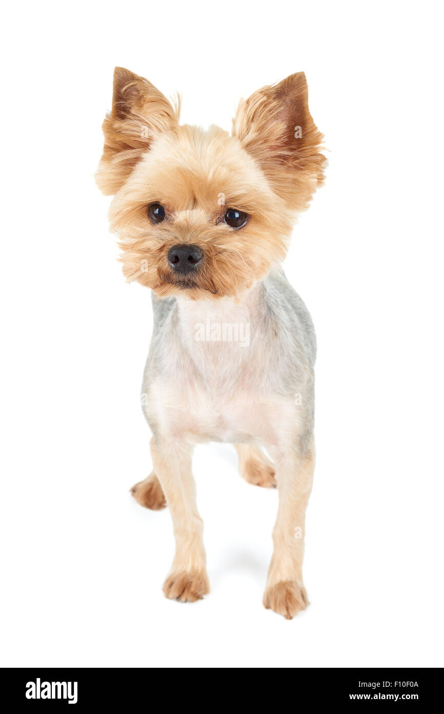 Yorkshire Terrier With Short Haircut Stands In The Studio On White