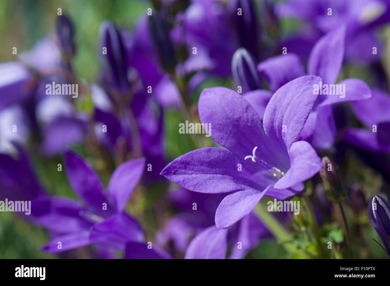 Wall or Dalmatian bellflower, Campanula portenschlagiana, blue rockery flower, Berkshire, June - Stock Image