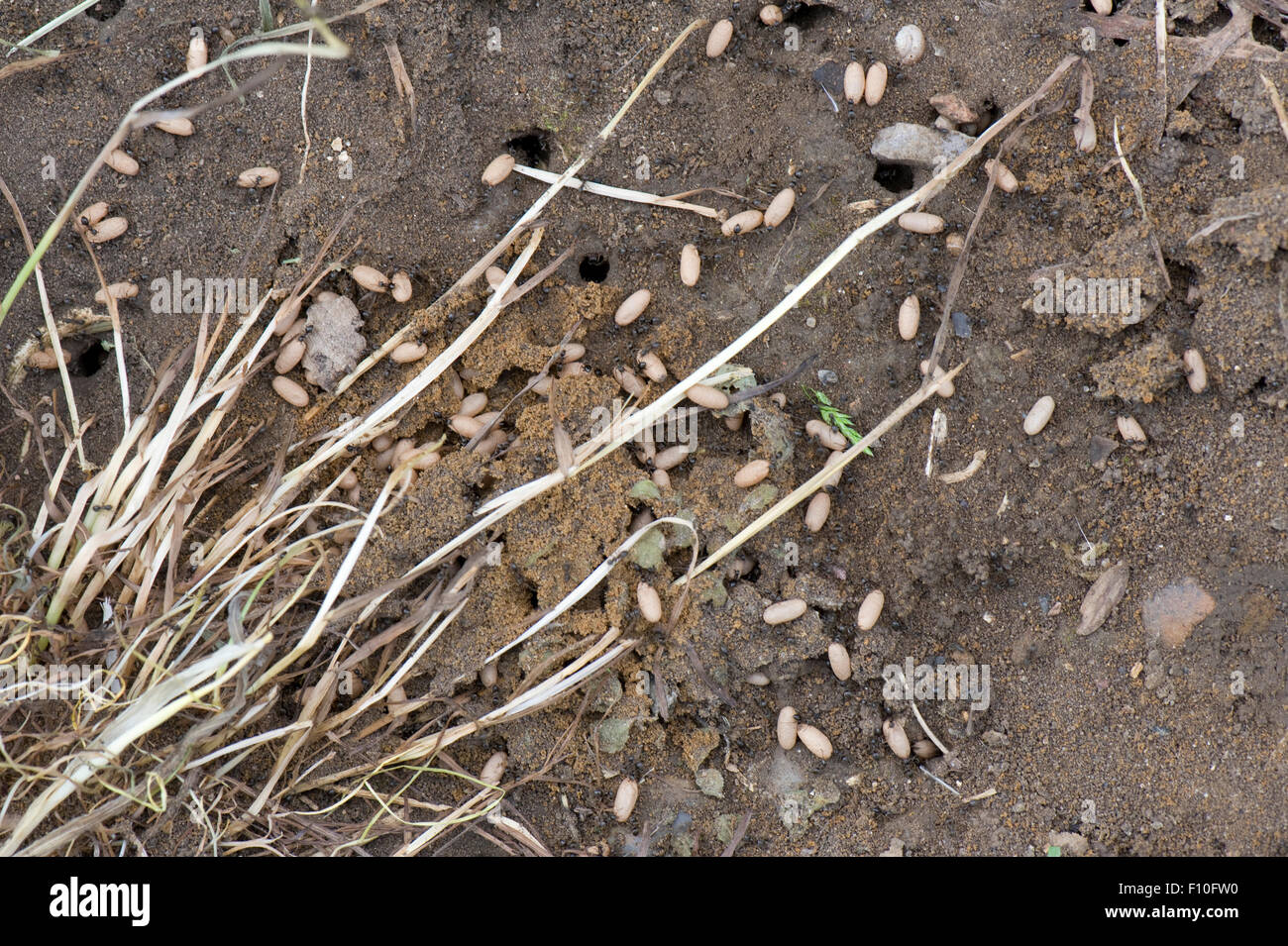 Exposed colony of black garden ants, Lasius niger, with pupae of flying drones and immature queens, June - Stock Image