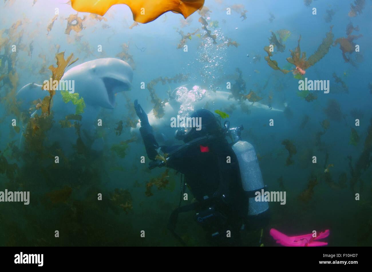 Sea Of Japan, Primorye, Far East, Russia. 15th Oct, 2014. Beluga whale or white whale (Delphinapterus leucas) Sea Stock Photo