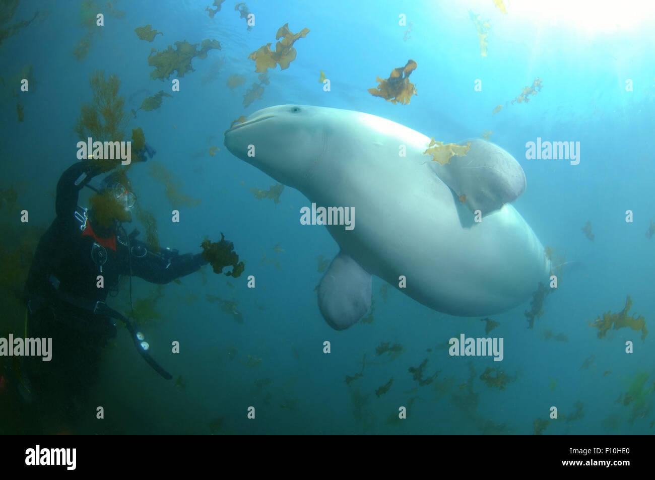Oct. 15, 2014 - Sea Of Japan, Primorye, Far East, Russia - Beluga whale or white whale (Delphinapterus leucas) Sea Stock Photo