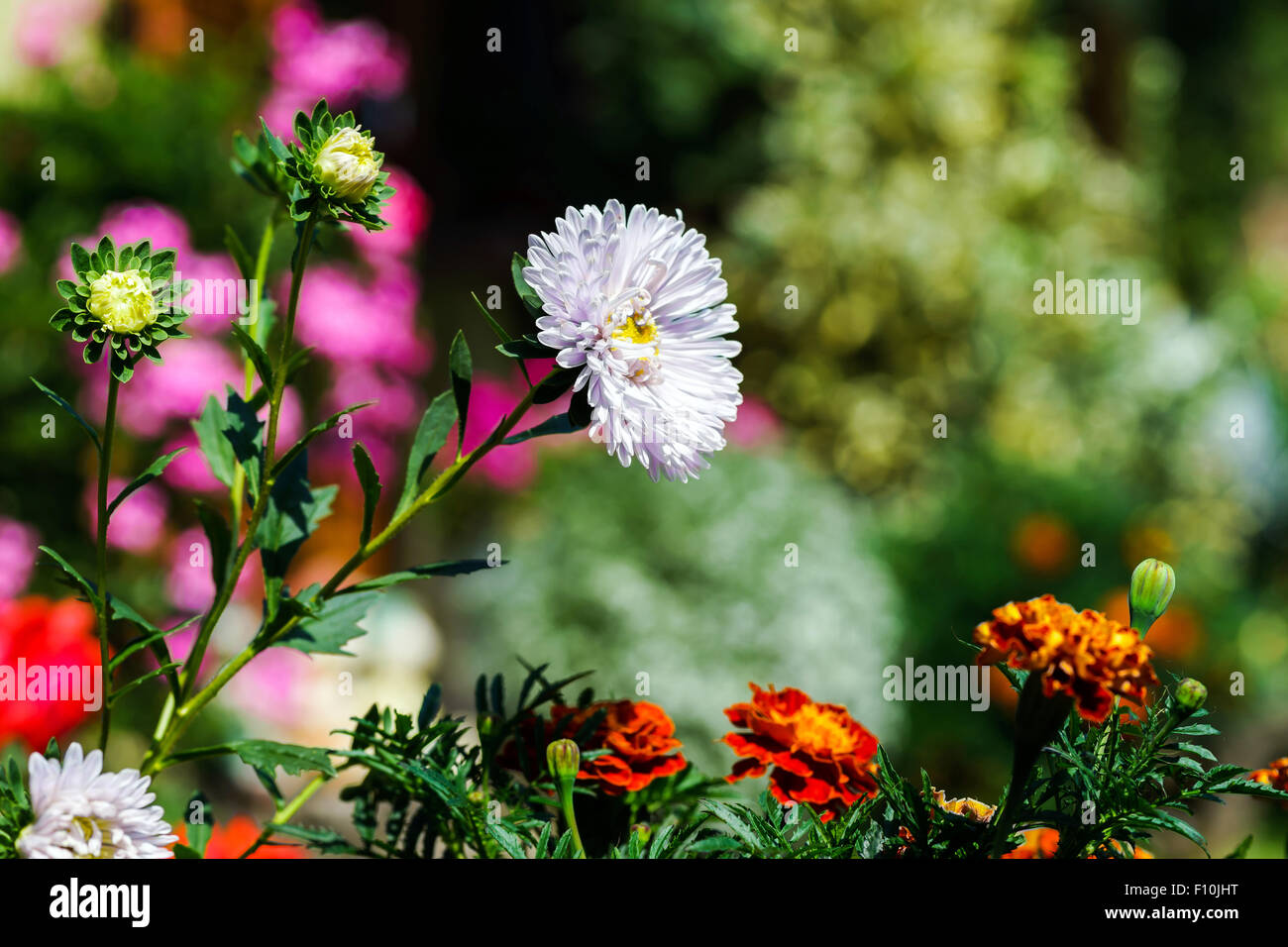 Beautiful natural flowers in private stock photos beautiful beautiful natural flowers in private garden summer time stock image izmirmasajfo