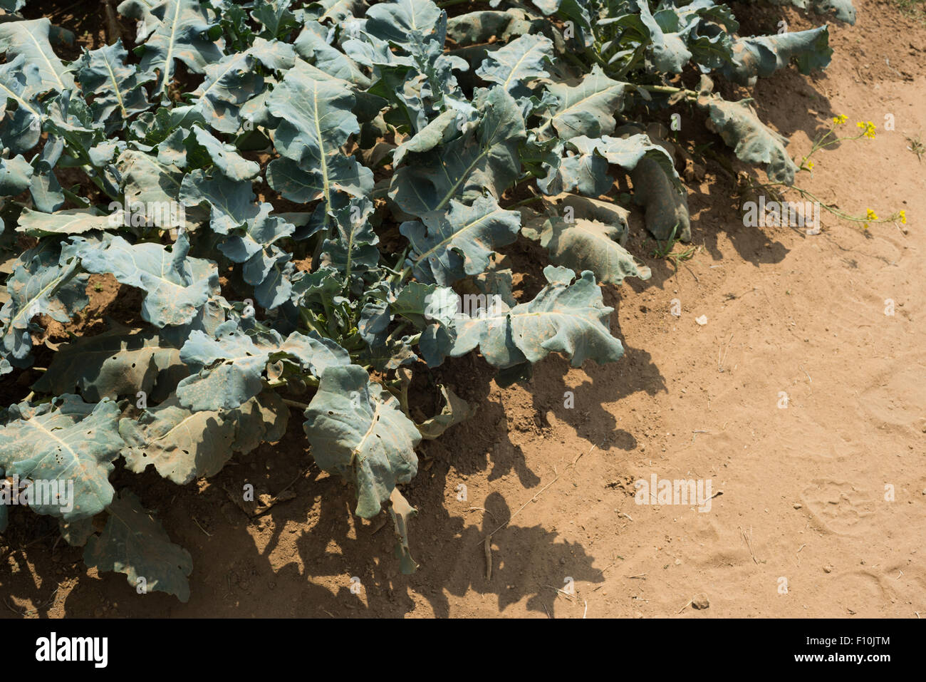 Dusts on broccoli farmland during dry season in Indonesia. - Stock Image