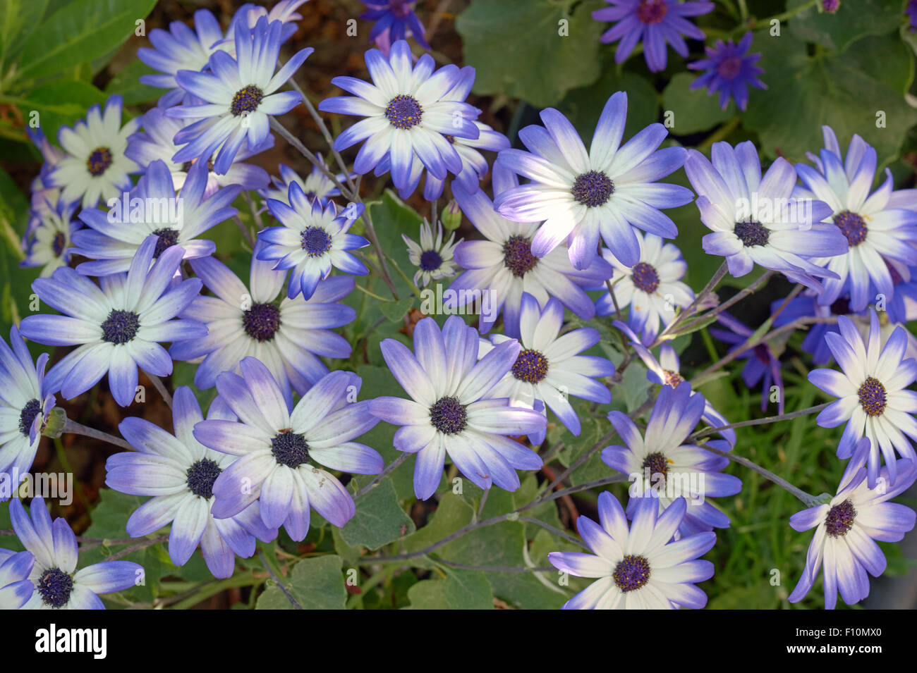 Group of flowers senetti in the garden in summer in Poland - Stock Image