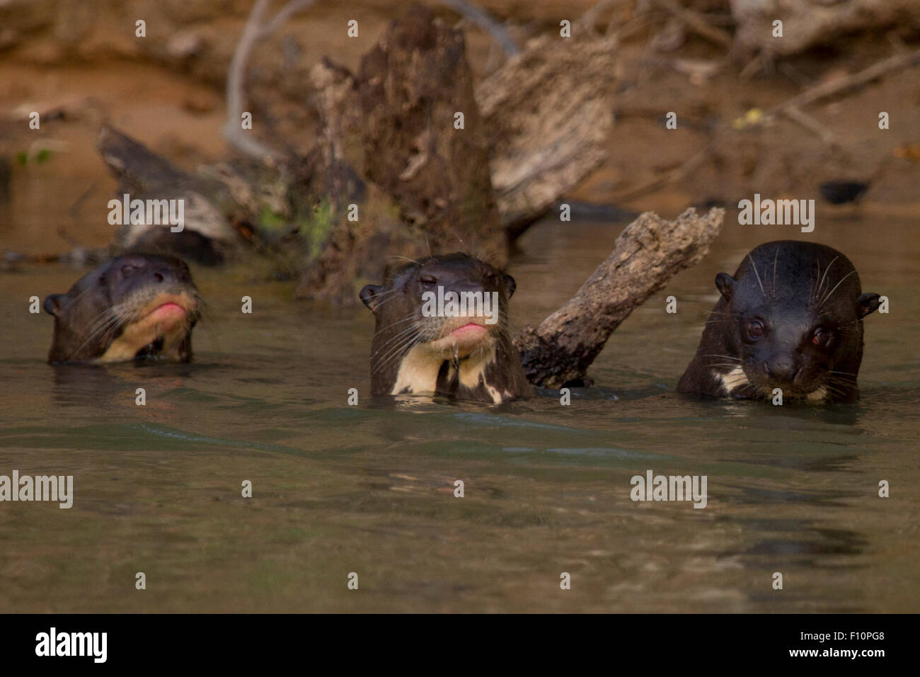 Giant River Otters on the Paraguay River in the Pantanal in Brazil - Stock Image