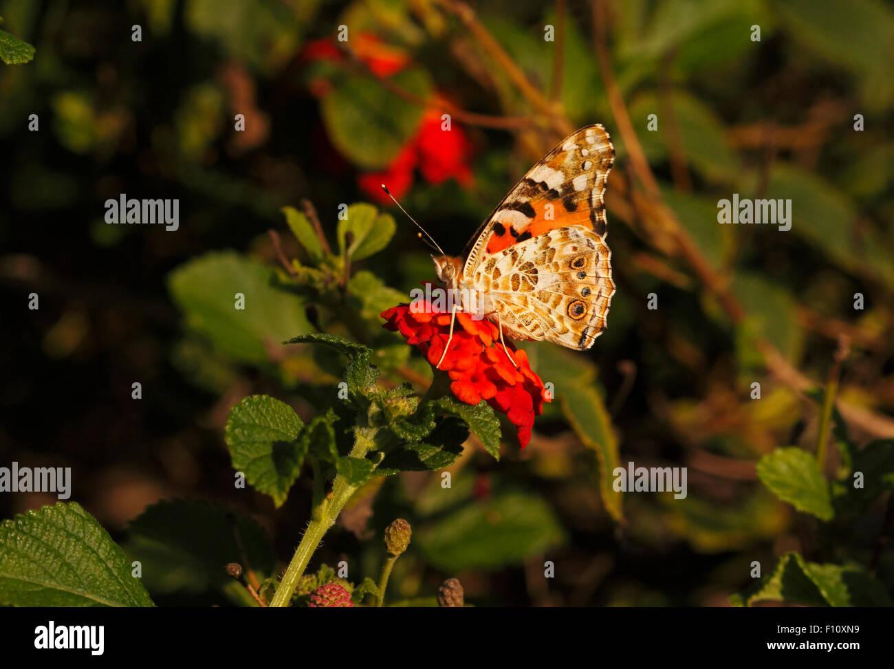 Painted lady butterlfy on Flowers of Lantana camara - Stock Image