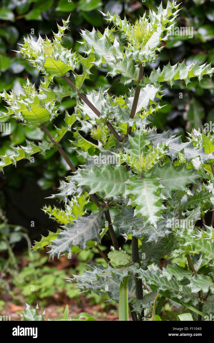 Summer foliage of the spiky leaved perennial, Acanthus sennii - Stock Image