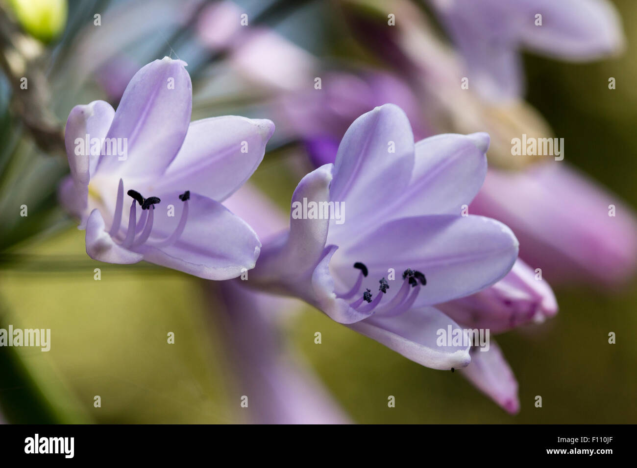 Two Flowers In The Head Of The Hardy Agapanthus Liam S Lilac