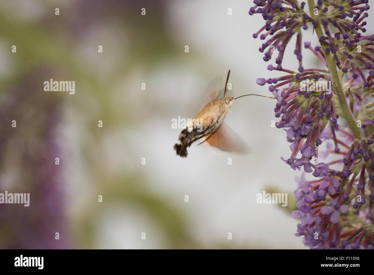 Hummingbird hawk-moth feeding on buddleia - Stock Image