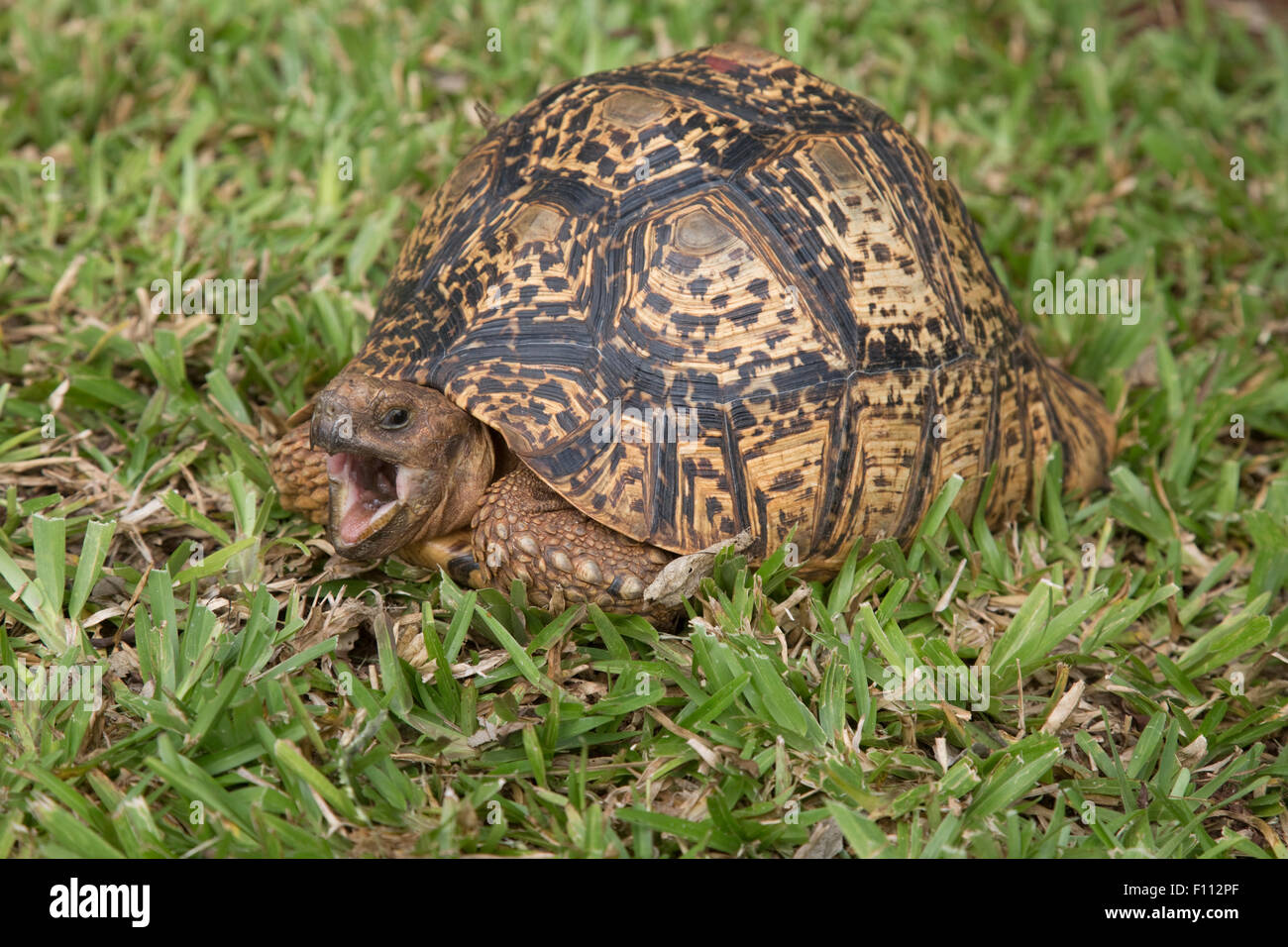Leopard tortoise Geochelone pardalis with mouth open Kenya - Stock Image