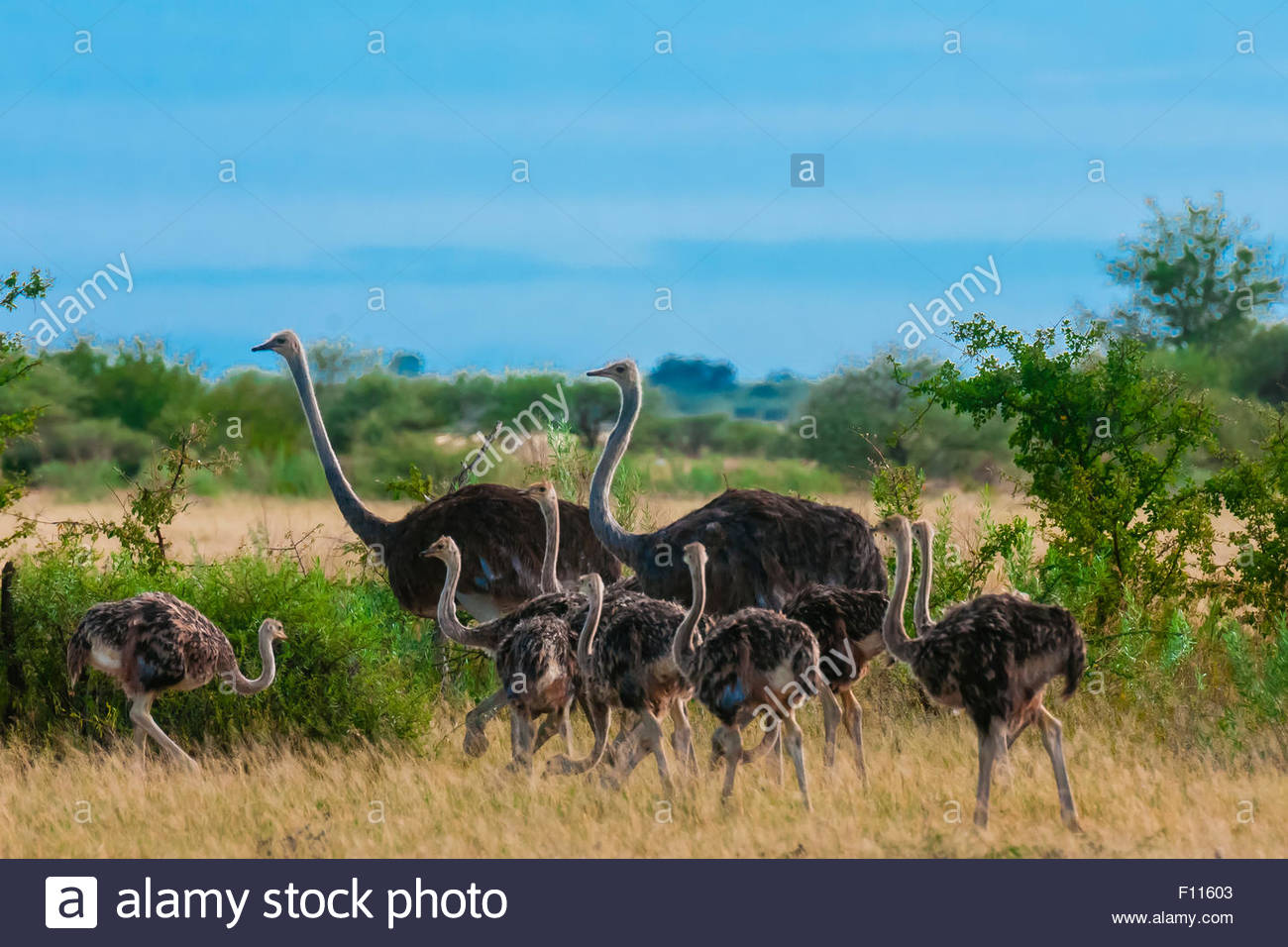 Herd of ostriches, Nxai Pan National Park, Botswana. - Stock Image