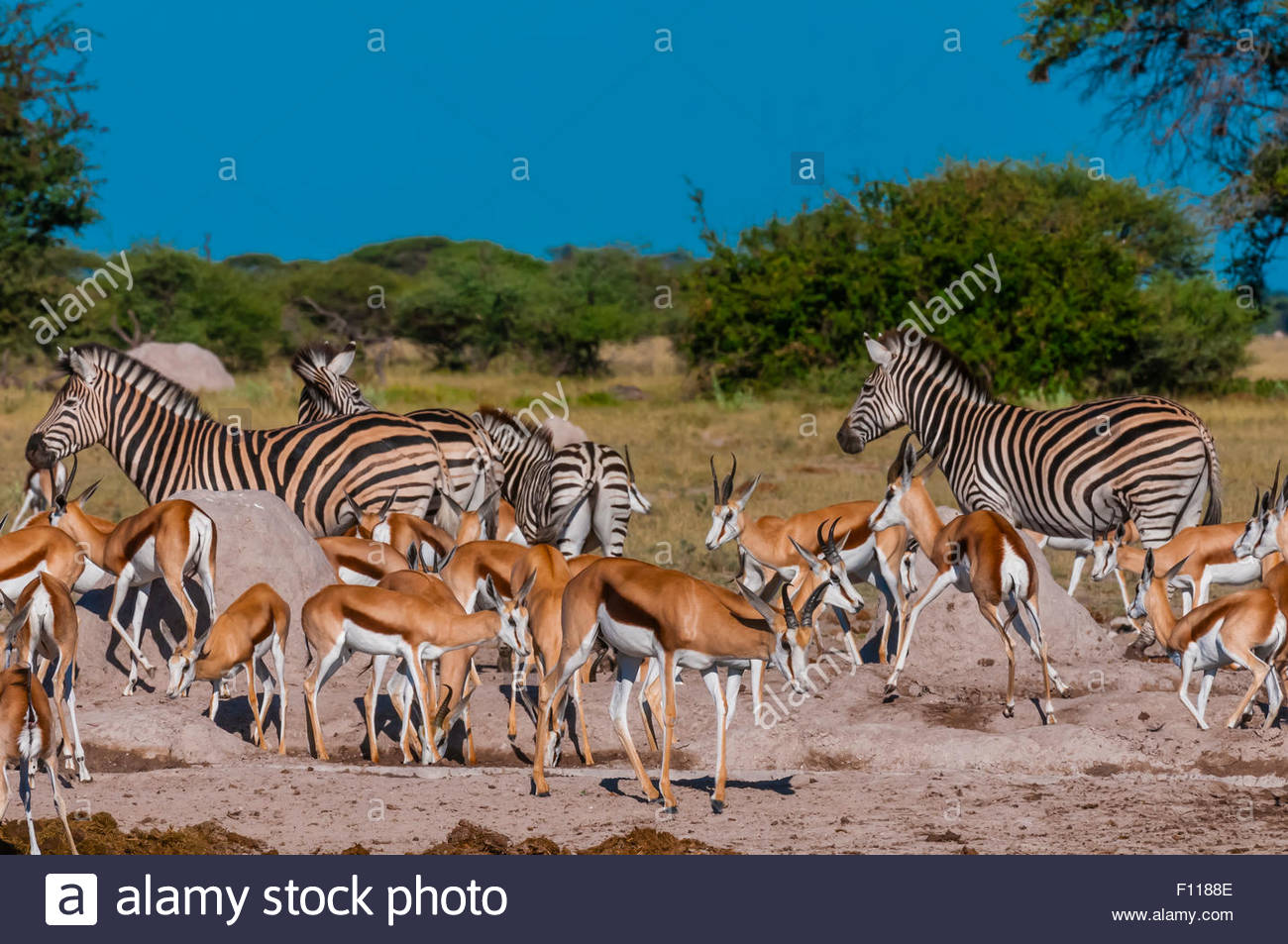Springbok and zebras at a watering hole, Nxai Pan National Park, Botswana. Stock Photo