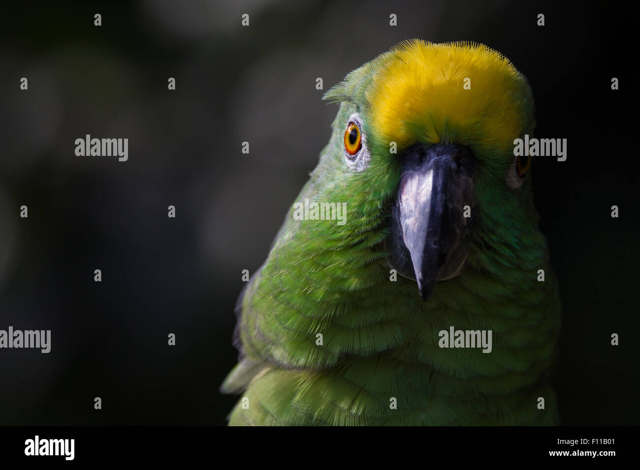 Closeup of yellow crowned amazon parrot of South America - Stock Image