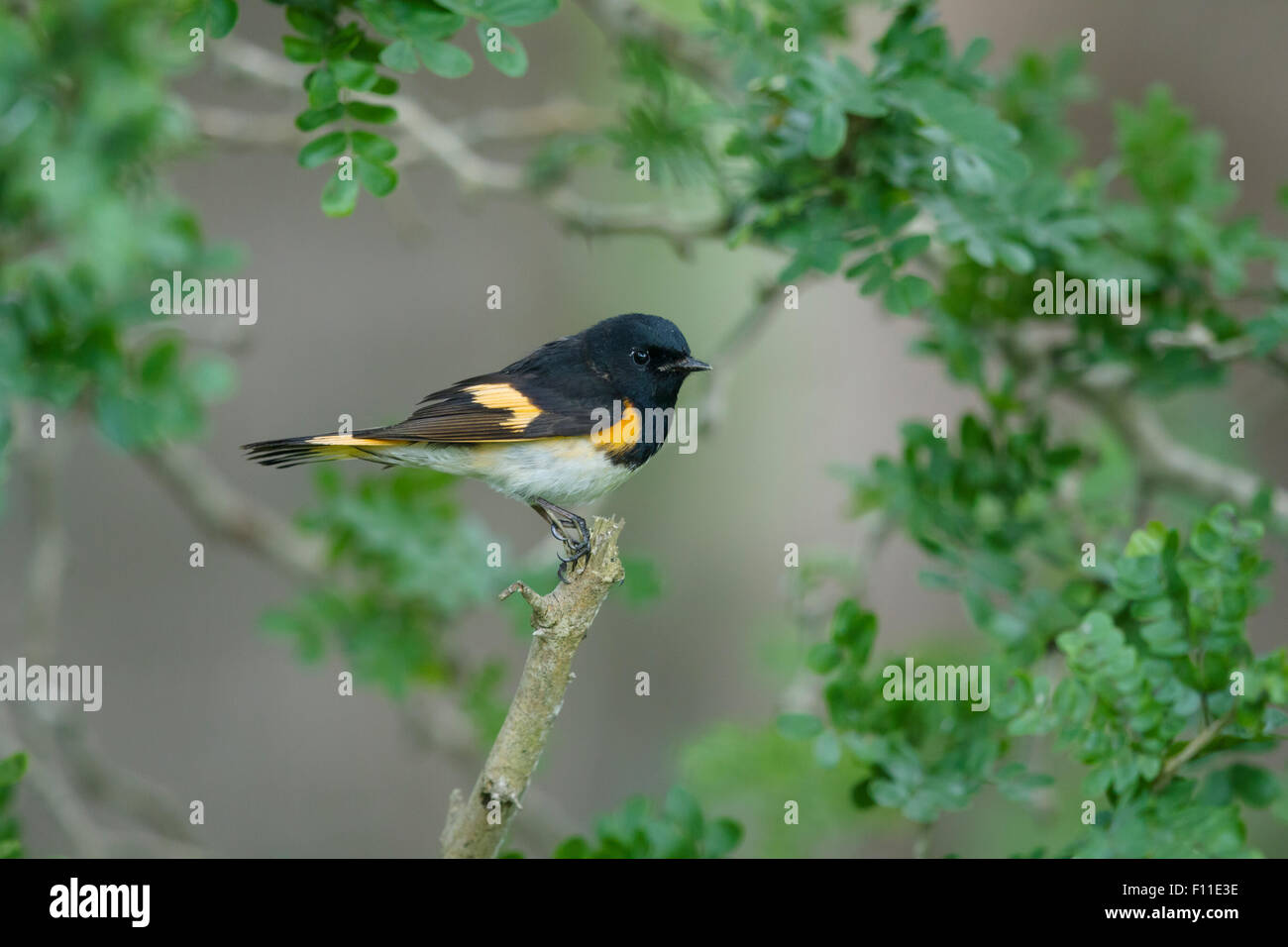 American Redstart - male on Spring migration Setophaga ruticilla Gulf Coast of Texas, USA BI027470 - Stock Image