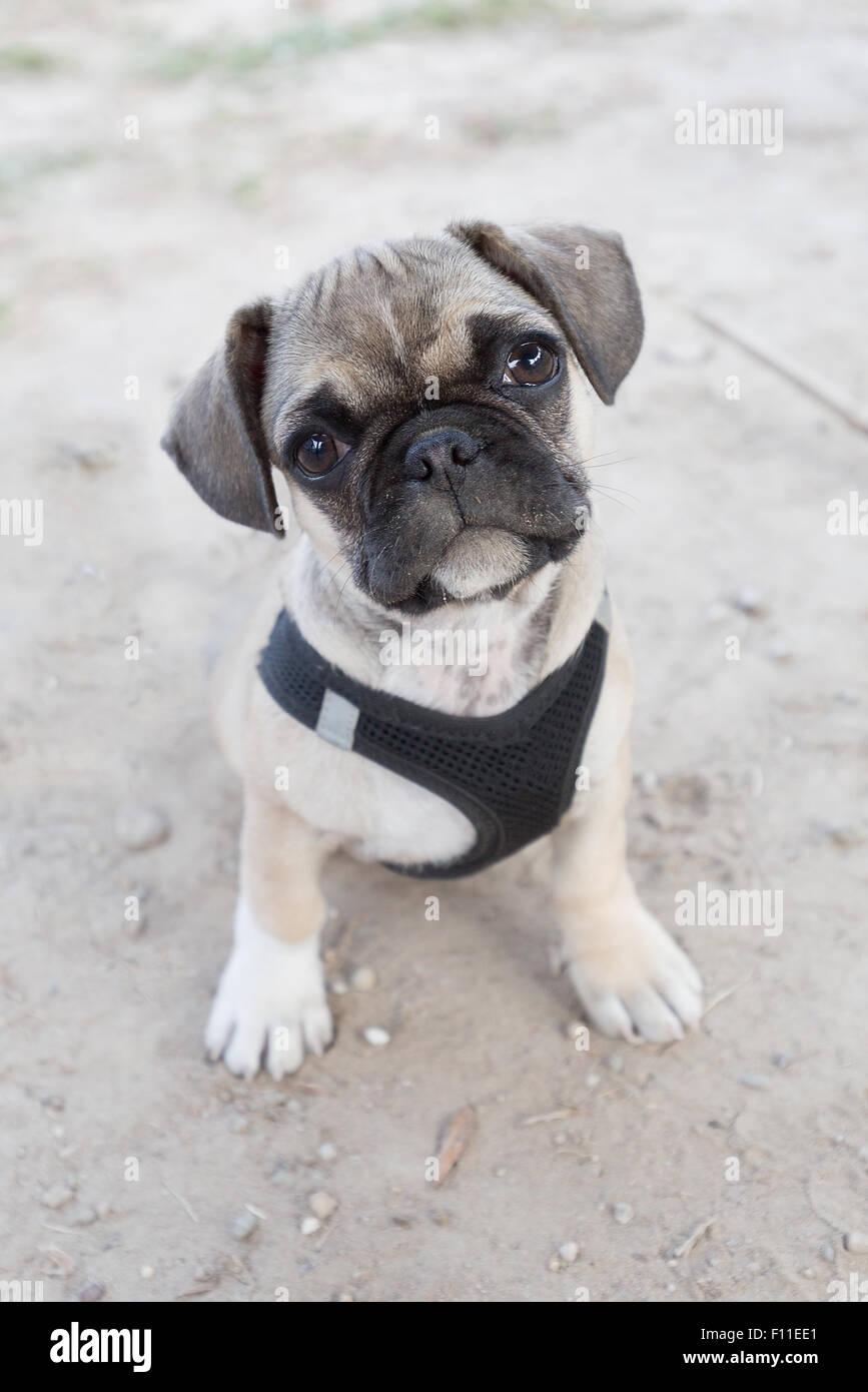 French bulldog and pug mixed breed puppy - Stock Image
