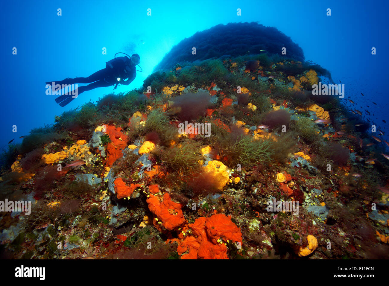 Diver by a rock face, thick growth with different sponges (Porifera), algae (Algae) and moss animals (Bryozoa), Stock Photo