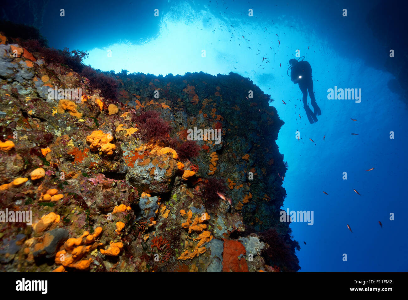 Diver by a steep rock face, thick growth with different sponges (Porifera), algae (Algae) and moss animals (Bryozoa), Stock Photo