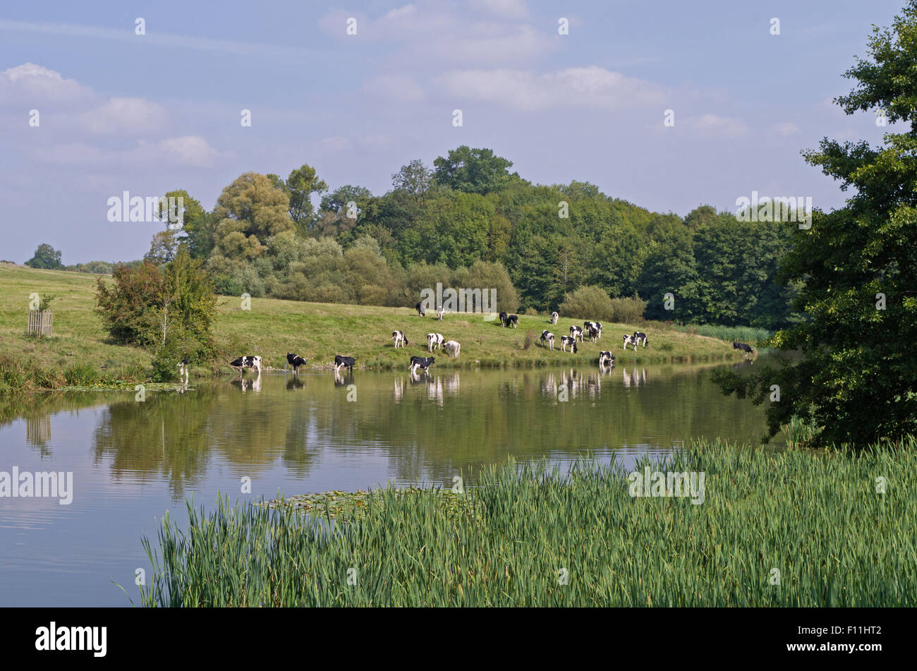 Cattle grazing by the lake in the grounds of Compton Verney House, Warwickshire - Stock Image