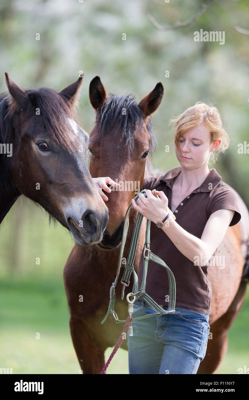 American Quarter Horse Woman putting halter yooung horse Sequence 1 5 - Stock Image