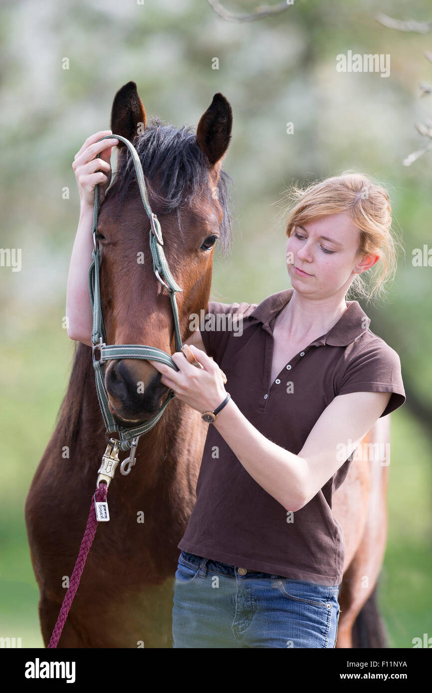 American Quarter Horse Woman putting halter yooung horse Sequence 3 5 - Stock Image