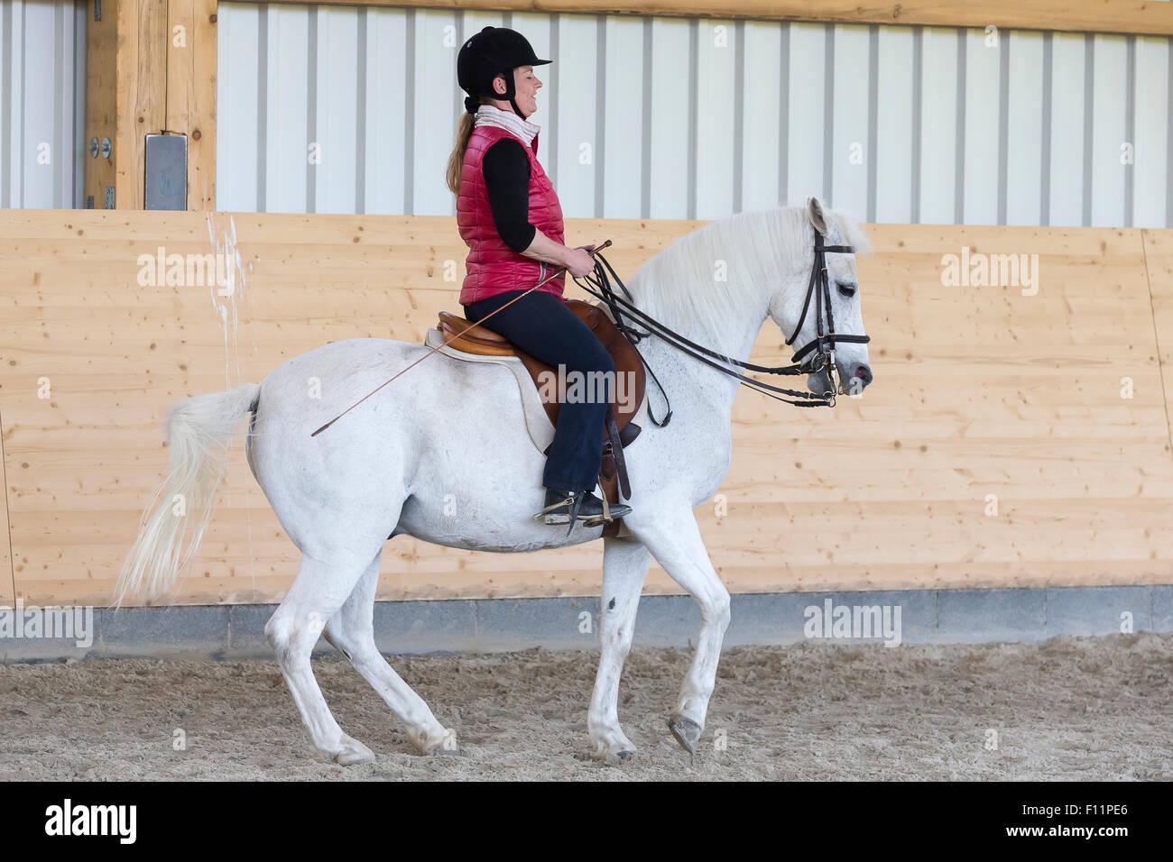 German Riding Pony Rider white pony performing piaffe - Stock Image