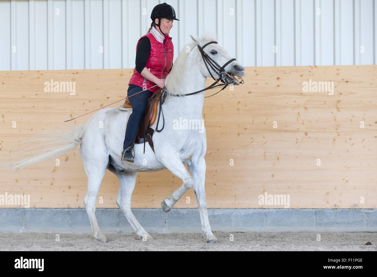 German Riding Pony White pony showing resistance against its rider - Stock Image