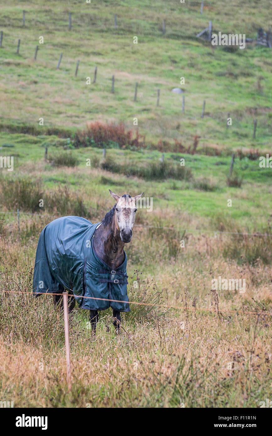 Irish Sporthorse wearing rug, standing pouring rain Shetlands, Scotland - Stock Image