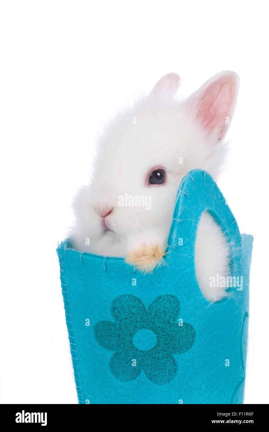 Dwarf Rabbit, Lionhead Rabbit White rabbit blue bag Studio picture against white background - Stock Image