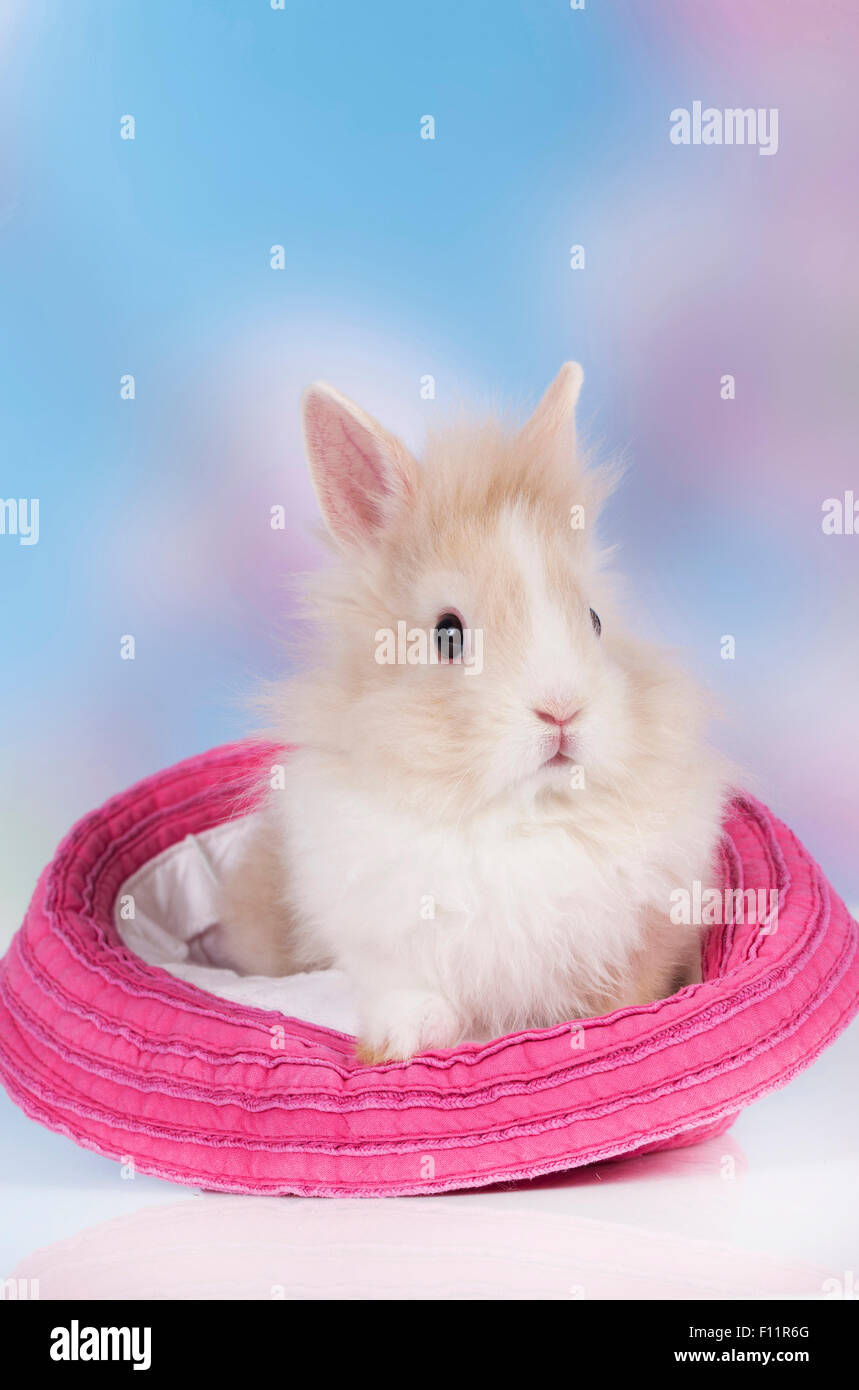 Brown and white lionhead rabbit - photo#30