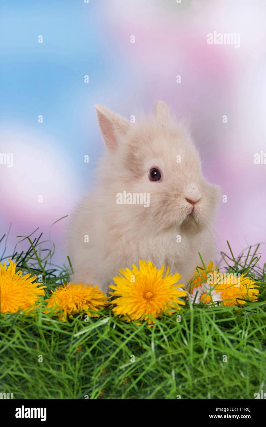 Dwarf Rabbit, Lionhead Rabbit grass Dandelion flowers Stock Photo