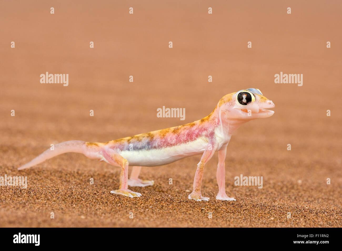 Web-footed Gecko (Palmatogecko rangei) on sand Webbed feet aid running over fine sand. Namib Desert Stock Photo