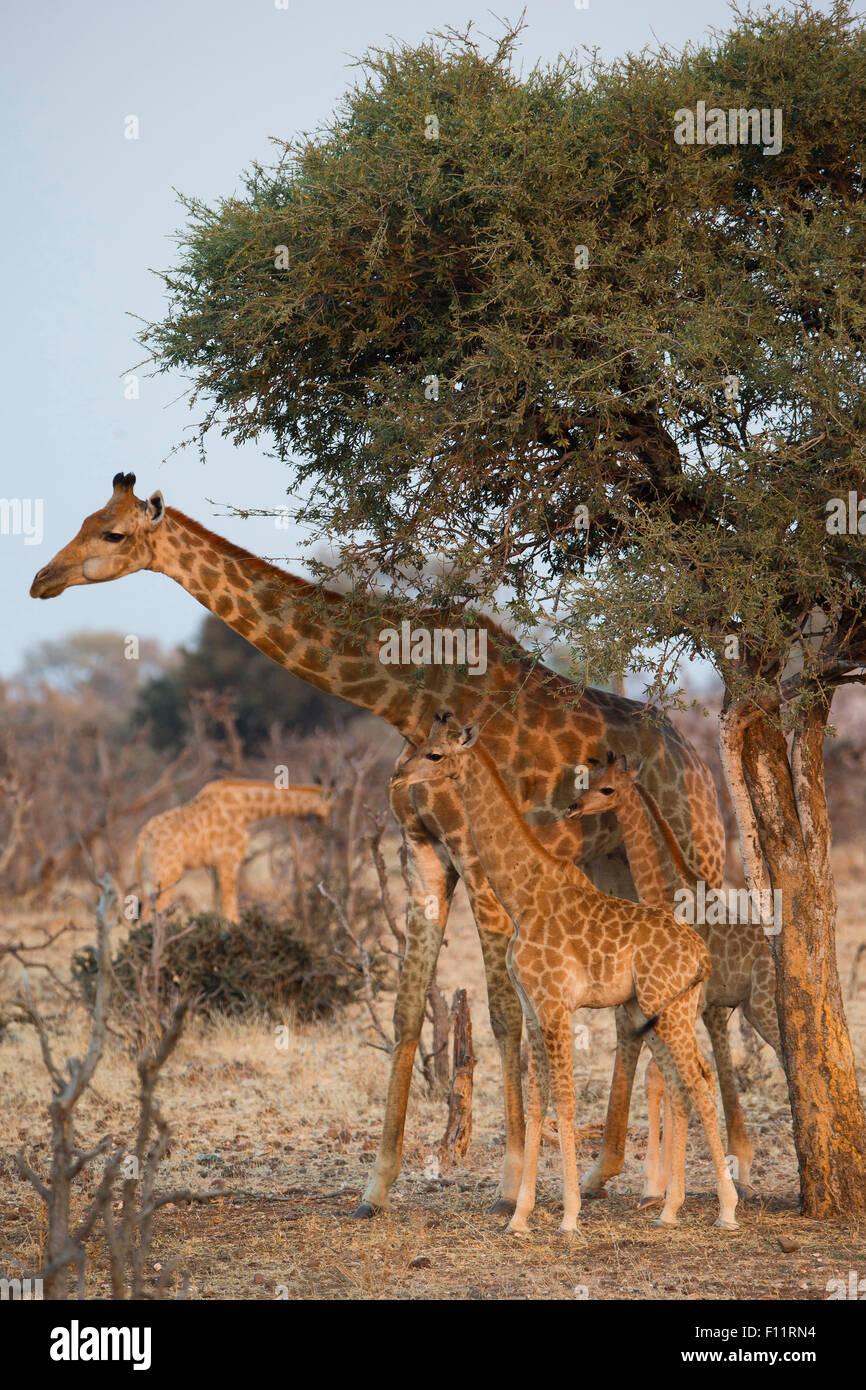 Angolan Giraffe, Namibian Giraffe (Giraffa camelopardalis angolensis) Female young standing the shade tree Namib - Stock Image