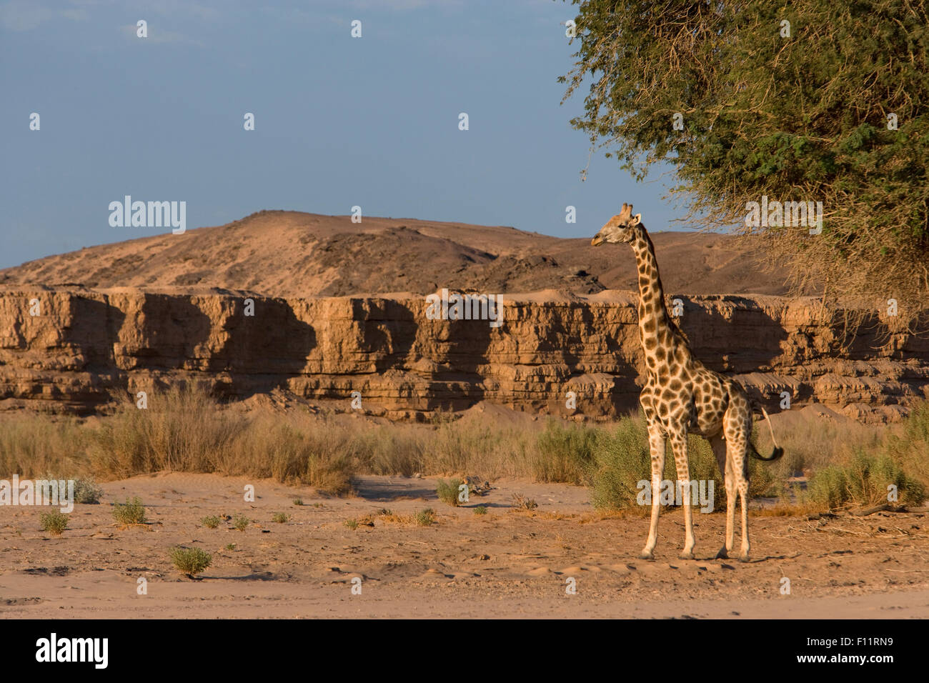 Angolan Giraffe, Namibian Giraffe (Giraffa camelopardalis angolensis) Adult standing the desert Namib-Skeleton Coast - Stock Image